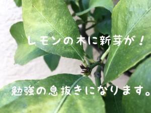 レモンの木の新芽